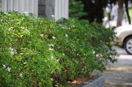 Mai van phuc 600x 5 loại cây cảnh dễ trồng cho sân vườn luôn đẹp