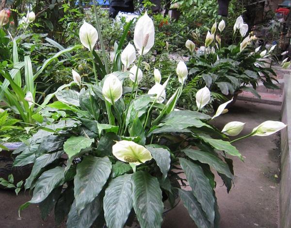 cay lan y 600x 5 loại cây cảnh dễ trồng cho sân vườn luôn đẹp