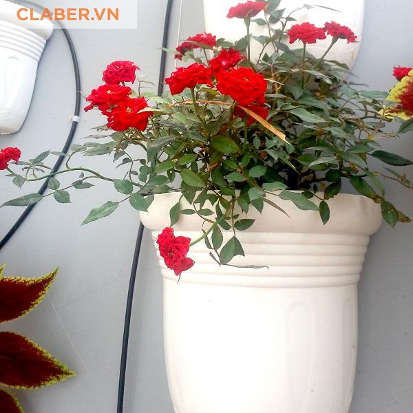 Hoa hồng tươi thắm trên tường đứng