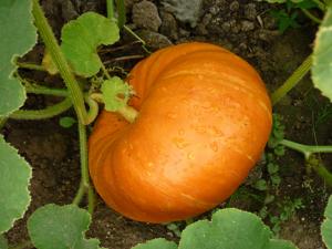 [Lễ hội Halloween 2017] 4 bước trồng bí đỏ / bí ngô Halloween đơn giản ngay tại nhà