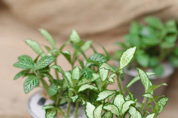 18 loại cây cảnh mini để bàn dễ trồng, hợp phong thủy trong nhà, văn phòng