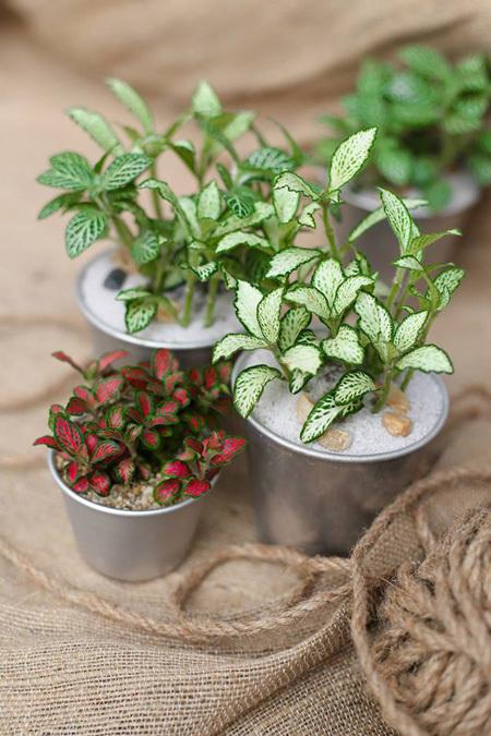 cam nhung 2 18 loại cây cảnh mini để bàn dễ trồng, hợp phong thủy trong nhà, văn phòng