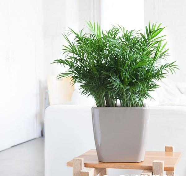 cau tieu tram 1 18 loại cây cảnh mini để bàn dễ trồng, hợp phong thủy trong nhà, văn phòng