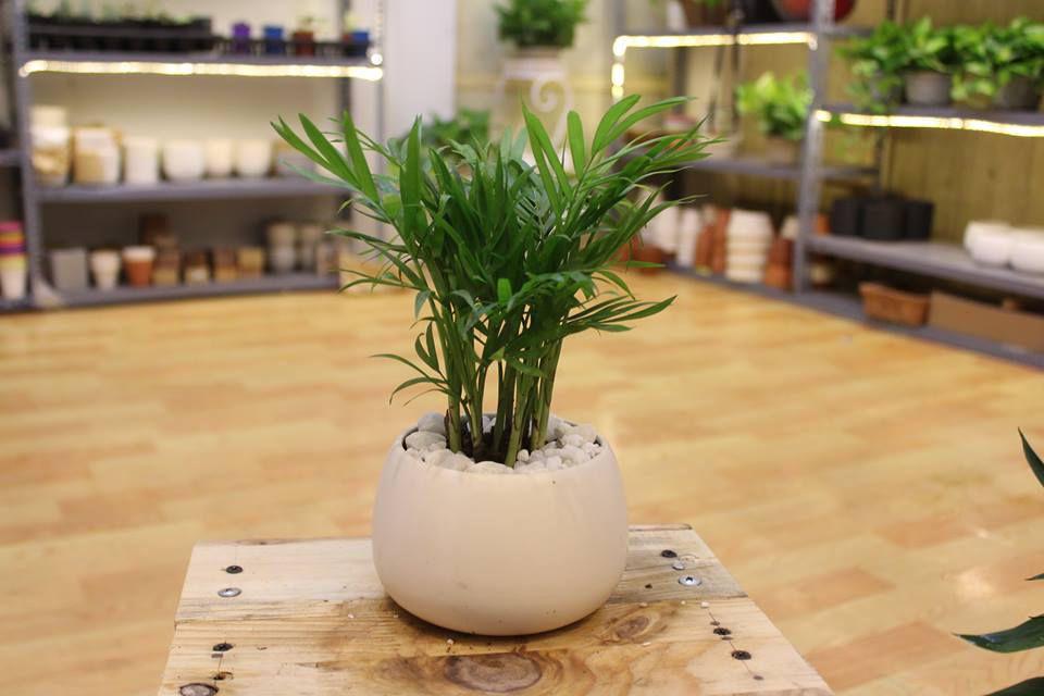 cau tieu tram 2 18 loại cây cảnh mini để bàn dễ trồng, hợp phong thủy trong nhà, văn phòng