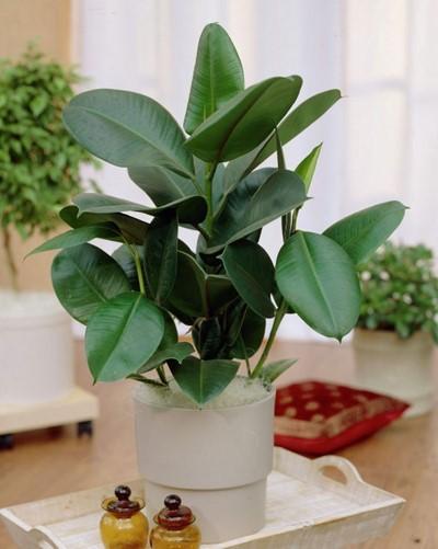 da bup do 2 18 loại cây cảnh mini để bàn dễ trồng, hợp phong thủy trong nhà, văn phòng