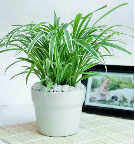 day nhen 2 18 loại cây cảnh mini để bàn dễ trồng, hợp phong thủy trong nhà, văn phòng