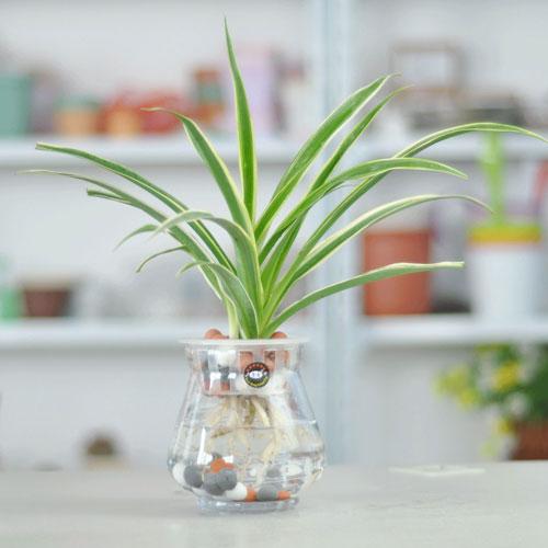 day nhen 3 18 loại cây cảnh mini để bàn dễ trồng, hợp phong thủy trong nhà, văn phòng
