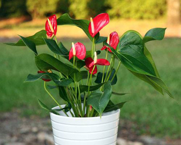 hong mon 1 18 loại cây cảnh mini để bàn dễ trồng, hợp phong thủy trong nhà, văn phòng