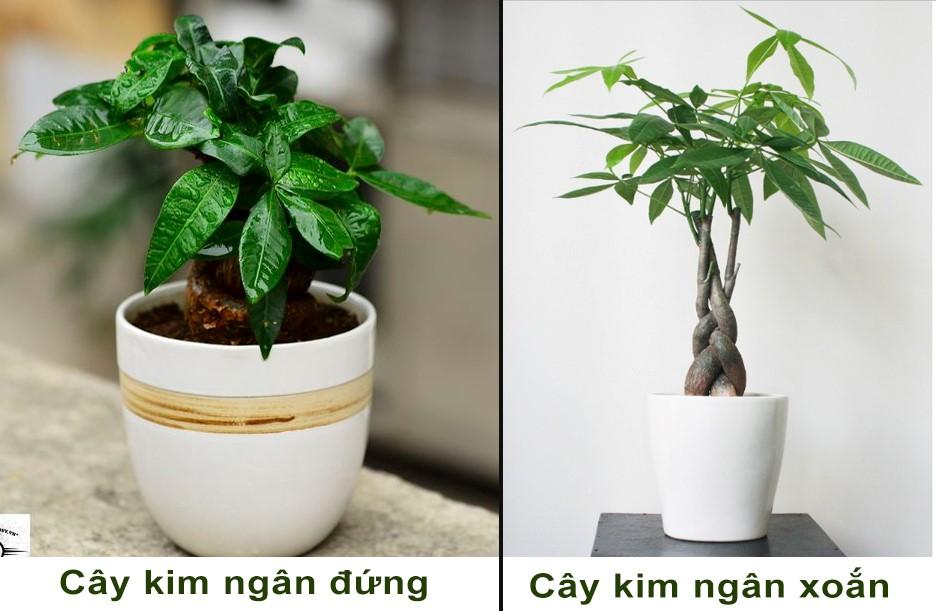 kim ngan 1 18 loại cây cảnh mini để bàn dễ trồng, hợp phong thủy trong nhà, văn phòng