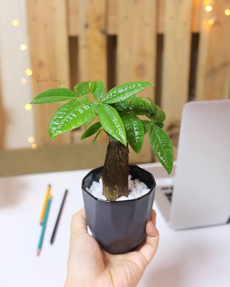 kim ngan 3 18 loại cây cảnh mini để bàn dễ trồng, hợp phong thủy trong nhà, văn phòng
