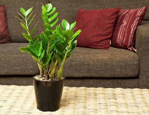 kim tien 1 18 loại cây cảnh mini để bàn dễ trồng, hợp phong thủy trong nhà, văn phòng