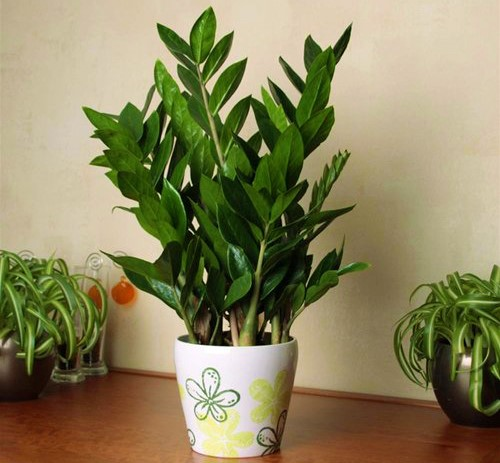 kim tien 2 18 loại cây cảnh mini để bàn dễ trồng, hợp phong thủy trong nhà, văn phòng