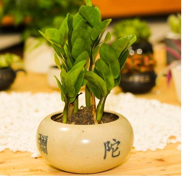 kim tien 3 18 loại cây cảnh mini để bàn dễ trồng, hợp phong thủy trong nhà, văn phòng