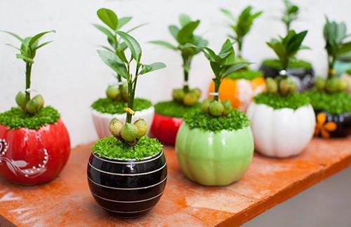 may man 2 18 loại cây cảnh mini để bàn dễ trồng, hợp phong thủy trong nhà, văn phòng