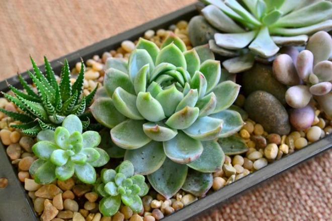 sen da 18 loại cây cảnh mini để bàn dễ trồng, hợp phong thủy trong nhà, văn phòng