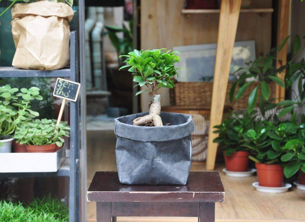 si nhat 1 1024x746 18 loại cây cảnh mini để bàn dễ trồng, hợp phong thủy trong nhà, văn phòng