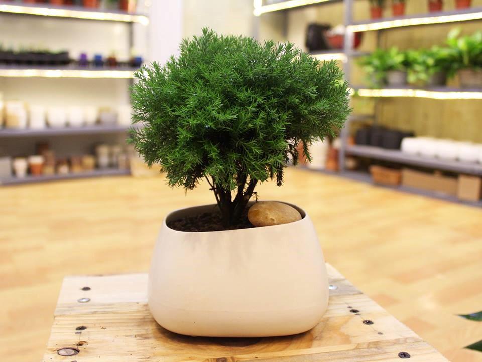 tung bong lai 1 18 loại cây cảnh mini để bàn dễ trồng, hợp phong thủy trong nhà, văn phòng