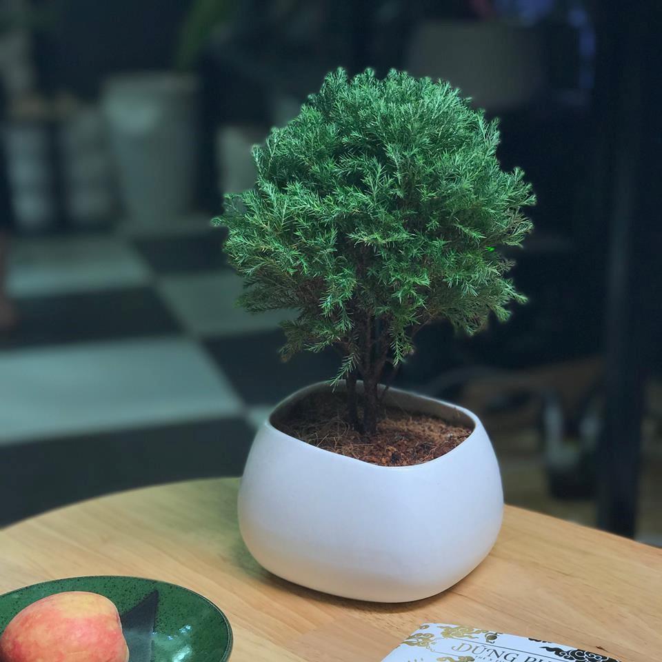 tung bong lai 2 18 loại cây cảnh mini để bàn dễ trồng, hợp phong thủy trong nhà, văn phòng
