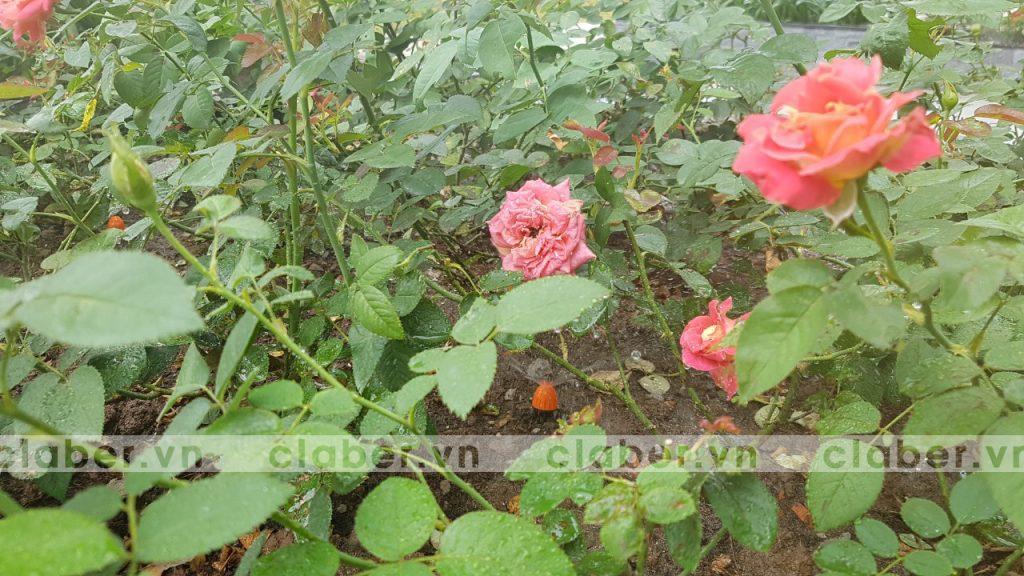 Tuoi hoa hong 7 1024x576 Các loại nấm bệnh trên cây hoa hồng   cách phòng và chữa bệnh
