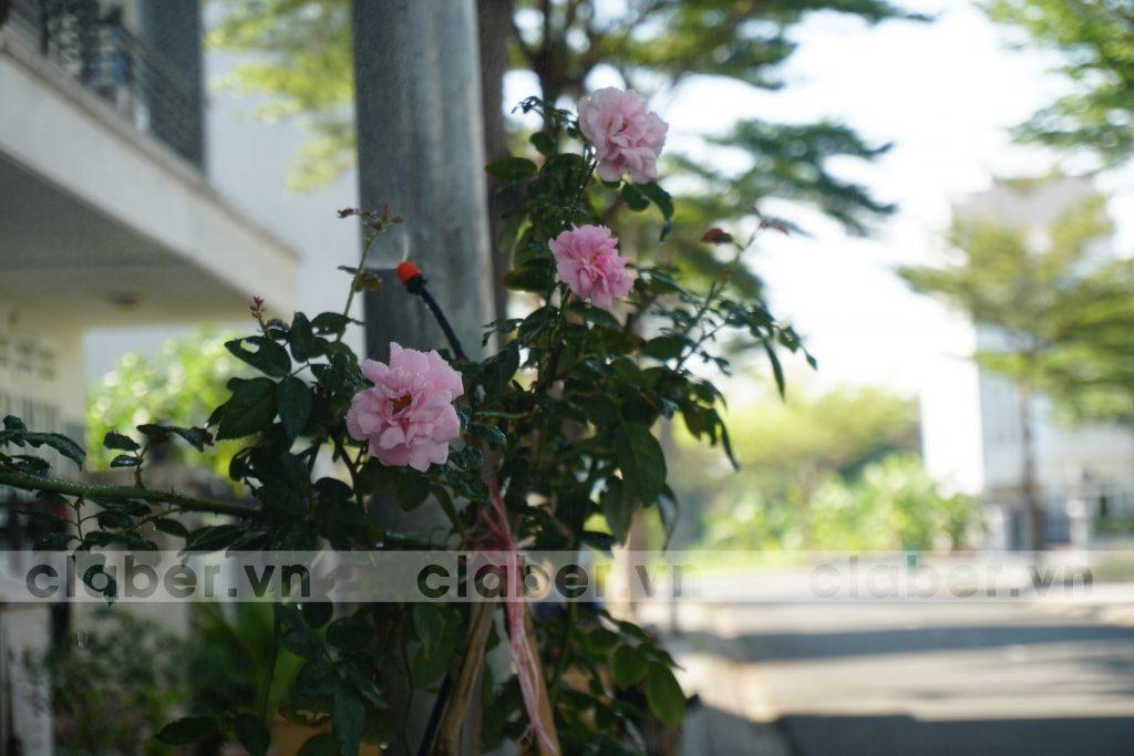 cách tưới hoa hồng