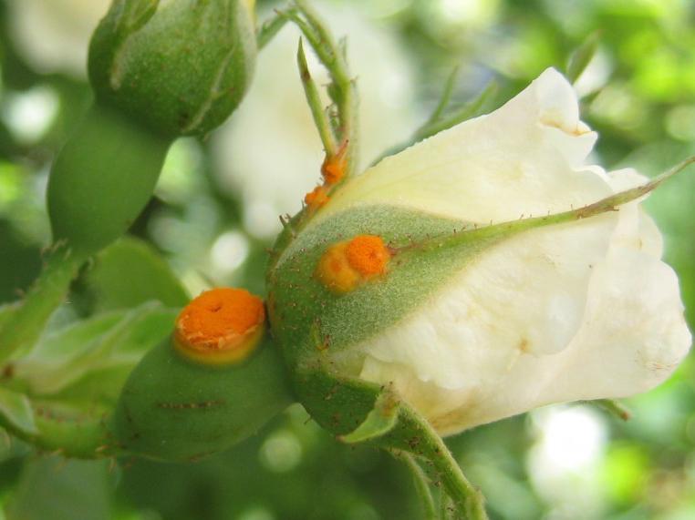 benh tren cay hoa hong 10 Các loại nấm bệnh trên cây hoa hồng   cách phòng và chữa bệnh