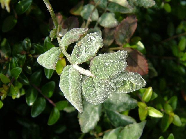 benh tren cay hoa hong 15 Các loại nấm bệnh trên cây hoa hồng   cách phòng và chữa bệnh