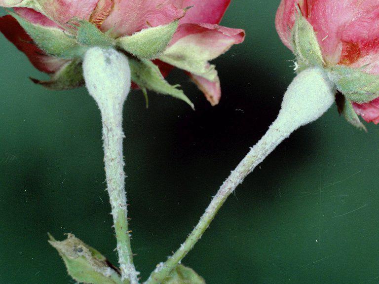 benh tren cay hoa hong 16 Các loại nấm bệnh trên cây hoa hồng   cách phòng và chữa bệnh