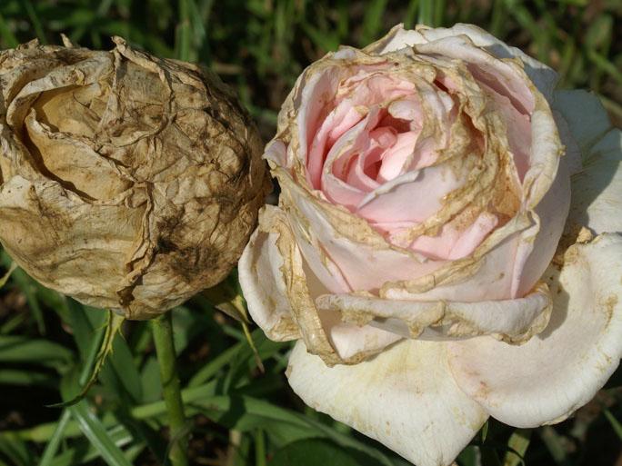 benh tren cay hoa hong 21 Các loại nấm bệnh trên cây hoa hồng   cách phòng và chữa bệnh