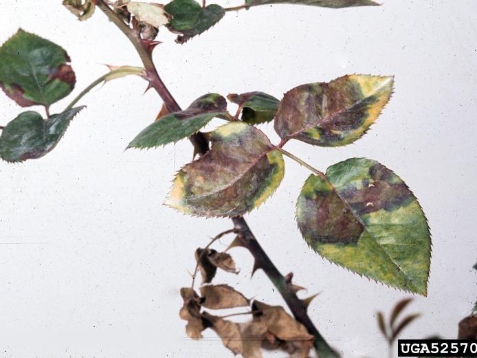 benh tren cay hoa hong 23 Các loại nấm bệnh trên cây hoa hồng   cách phòng và chữa bệnh