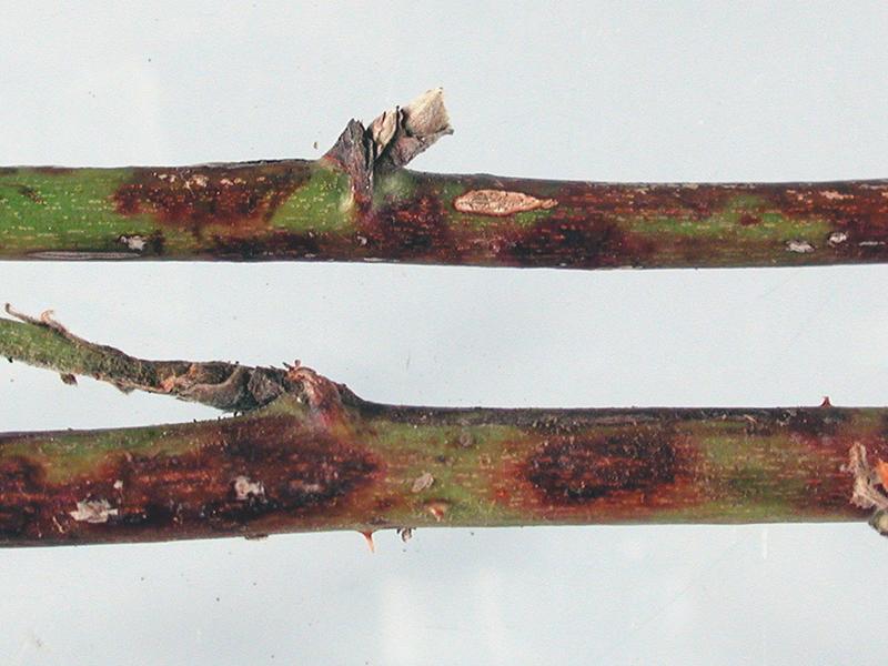 benh tren cay hoa hong 25 Các loại nấm bệnh trên cây hoa hồng   cách phòng và chữa bệnh