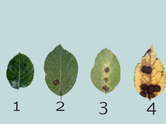 benh tren cay hoa hong 3 Các loại nấm bệnh trên cây hoa hồng   cách phòng và chữa bệnh