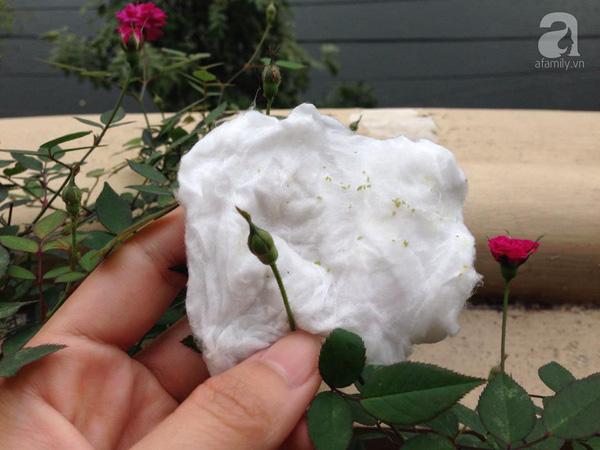 benh tren cay hoa hong 30 Các loại nấm bệnh trên cây hoa hồng   cách phòng và chữa bệnh