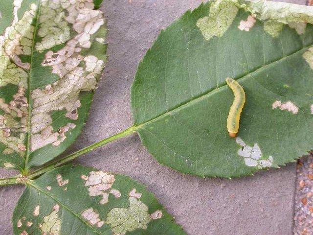 benh tren cay hoa hong 32 Các loại nấm bệnh trên cây hoa hồng   cách phòng và chữa bệnh