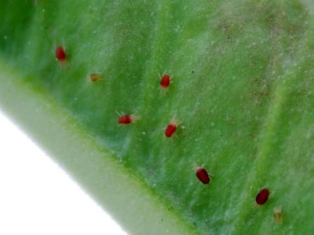 benh tren cay hoa hong 33 Các loại nấm bệnh trên cây hoa hồng   cách phòng và chữa bệnh
