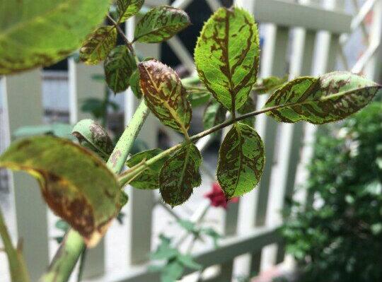 benh tren cay hoa hong 36 Các loại nấm bệnh trên cây hoa hồng   cách phòng và chữa bệnh