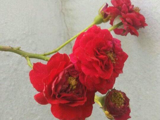 benh tren cay hoa hong 39 Các loại nấm bệnh trên cây hoa hồng   cách phòng và chữa bệnh
