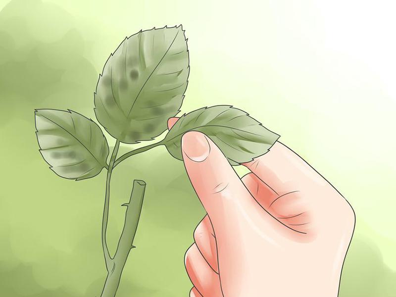 benh tren cay hoa hong 4 Các loại nấm bệnh trên cây hoa hồng   cách phòng và chữa bệnh