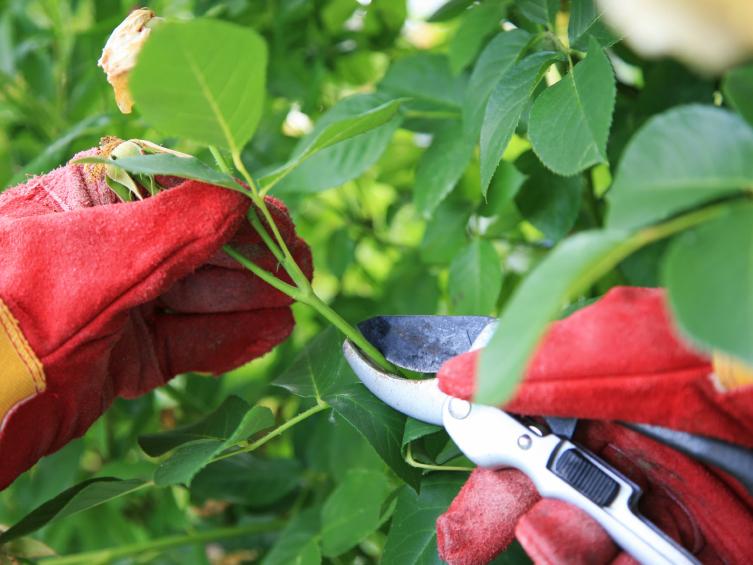 benh tren cay hoa hong 6 Các loại nấm bệnh trên cây hoa hồng   cách phòng và chữa bệnh