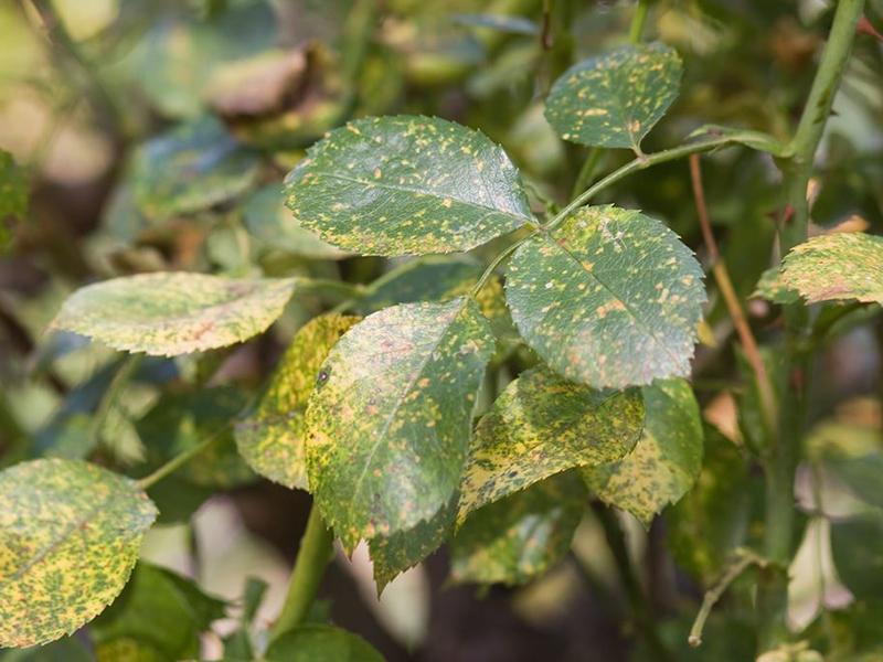 benh tren cay hoa hong 7 Các loại nấm bệnh trên cây hoa hồng   cách phòng và chữa bệnh
