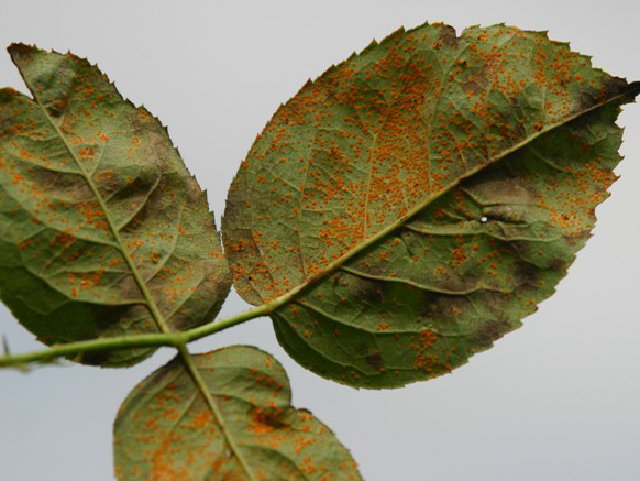benh tren cay hoa hong 8 Các loại nấm bệnh trên cây hoa hồng   cách phòng và chữa bệnh