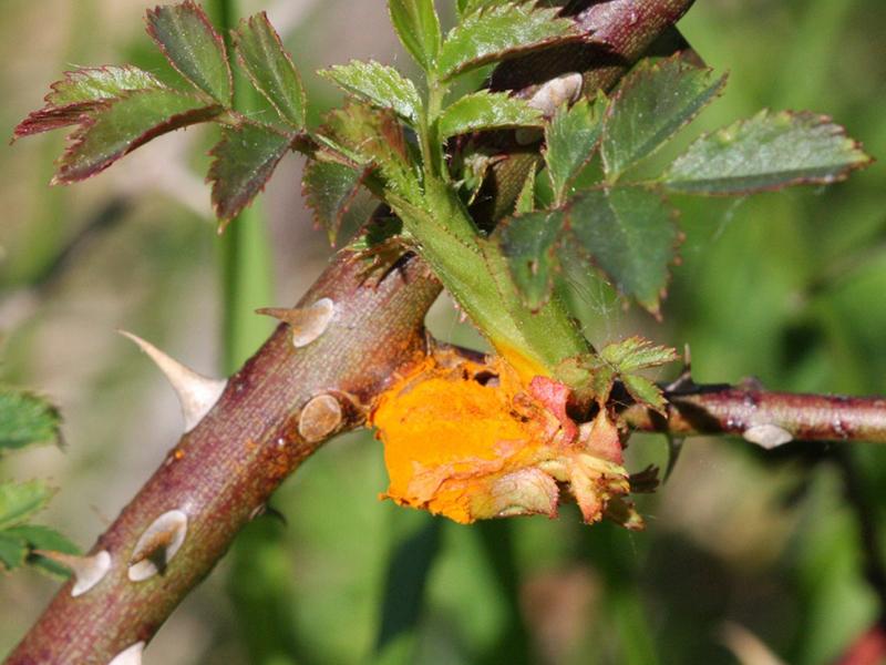 benh tren cay hoa hong 9 Các loại nấm bệnh trên cây hoa hồng   cách phòng và chữa bệnh