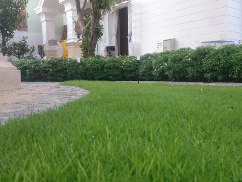 thiet bi tuoi 207 Sử dụng thiết bị tưới cỏ để trồng cỏ sả nuôi trâu bò