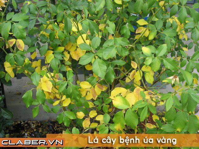 benh tren cay Bí mật cách Tưới Cây Bằng B1 giúp cây cảnh xanh tốt quanh năm