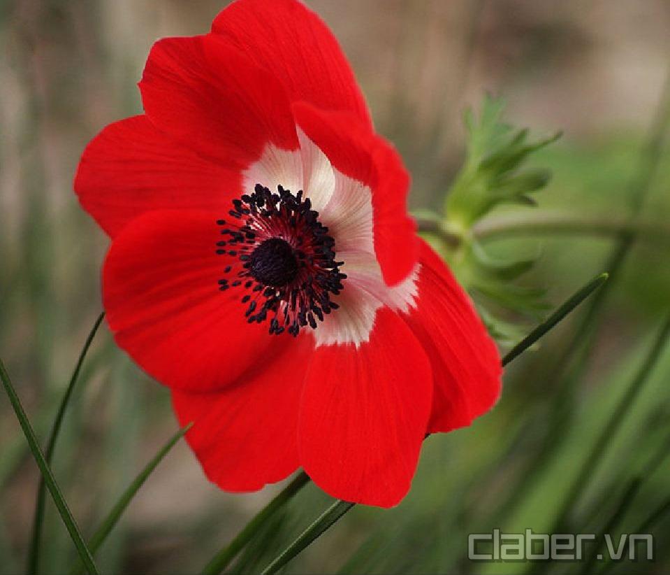 hoa anemone mau do