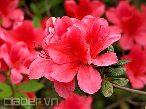 hoa do quyen mau do