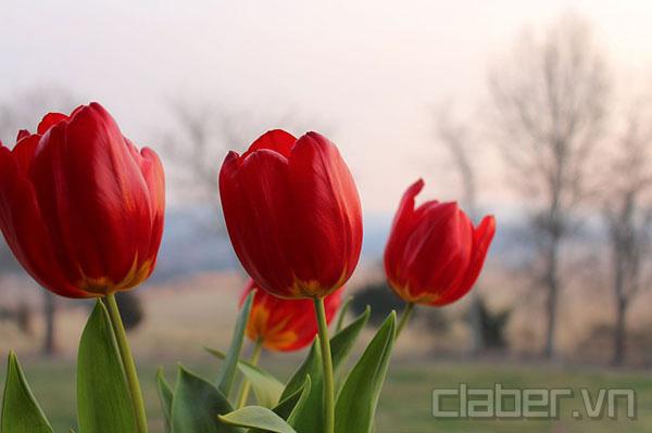 hoa-tulip-mau-do