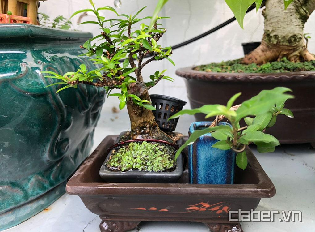 Một trong những cây Bonsai nghệ thuật.