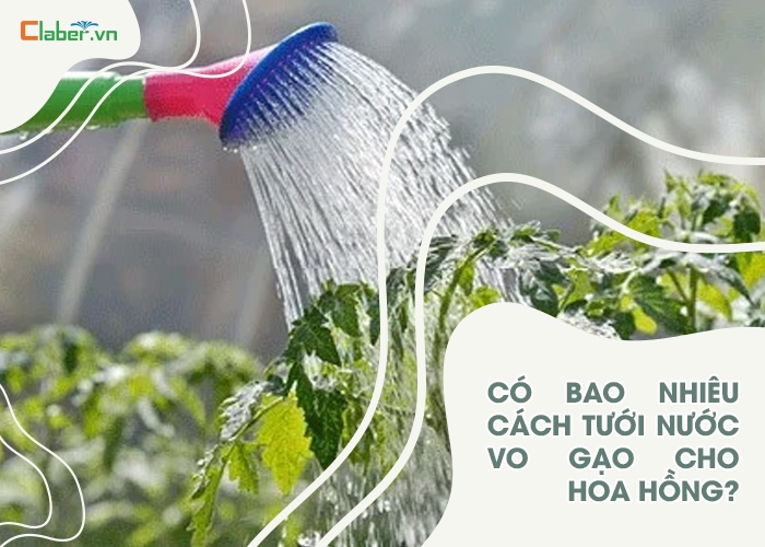 cách tưới nước vo gạo cho hoa hồng
